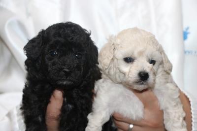 トイプードルシルバーとホワイト(白)の子犬メス、生後4週間画像