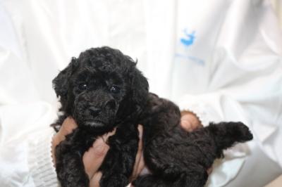 トイプードルシルバー)の子犬メス、生後4週間画像