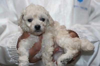トイプードルホワイト(白)の子犬メス、生後4週間画像