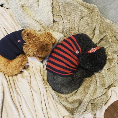 トイプードルブラックとレッドの多頭飼い、東京都大田区ピース&サニー君画像