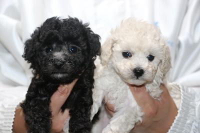 トイプードルシルバーとホワイト(白)の子犬メス、生後5週間画像