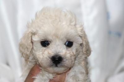 トイプードルホワイト(白)の子犬メス、生後5週間画像