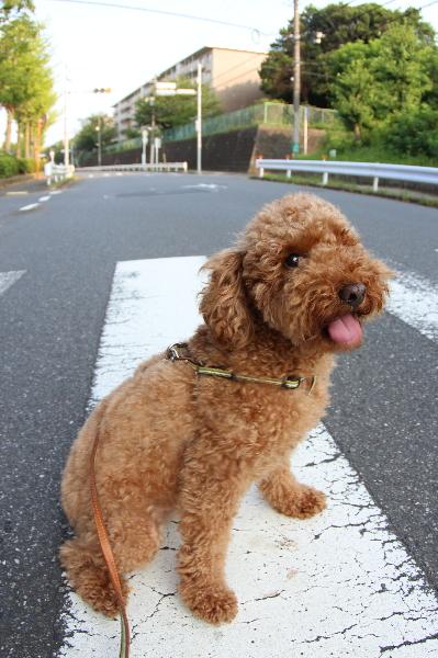 千葉県船橋市トイプードルレッドオスのジーナ君、ペットホテル画像