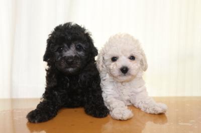 トイプードルシルバーとホワイト(白)の子犬メス、生後6週間画像