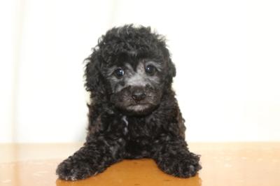 トイプードルシルバー子犬メス、生後6週間画像