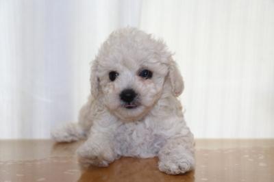 トイプードルホワイト(白)の子犬メス、生後6週間画像
