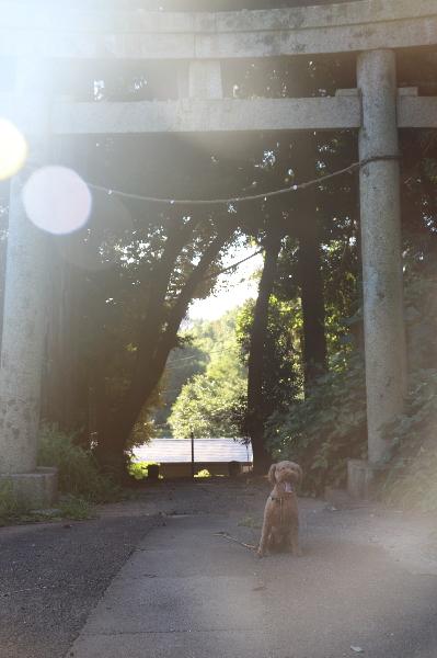 ペットホテル、千葉県船橋市トイプードルレッドオスのジーナ君画像
