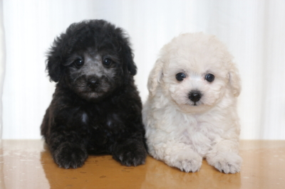 トイプードルシルバーとホワイト(白)の子犬メス、生後7週間画像