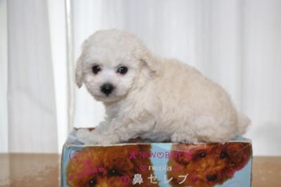 トイプードルホワイト(白)の子犬メス、生後7週間画像