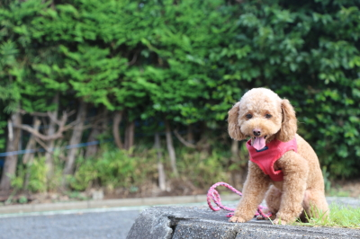ペットホテル、千葉県船橋市トイプードルのルナちゃん画像