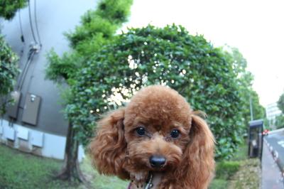 ペットホテル、千葉県千葉市トイプードルの福君画像