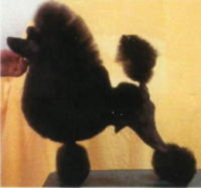 トイプードルブラック(黒色)、JKCチャンピオン画像