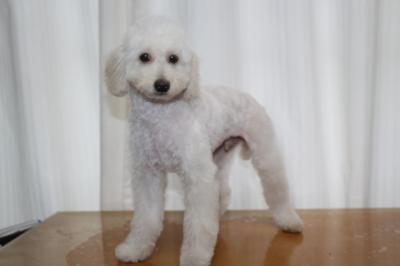 トイプードルホワイト(白色)の子犬オス、生後4ヵ月画像