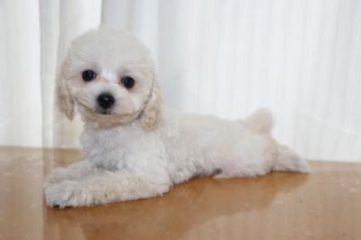 トイプードルホワイト(白色)の子犬メス、生後2ヵ月画像