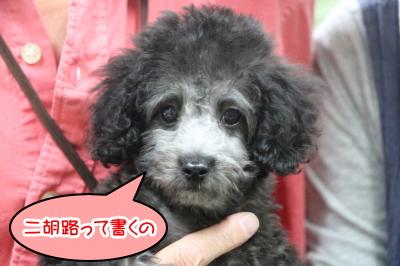トイプードルシルバーの子犬メス、千葉県浦安市ニコルちゃん画像