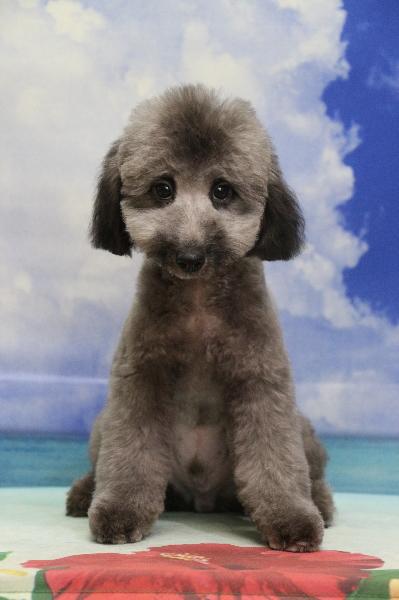 トイプードルシルバーの子犬オス、東京都世田谷区クッシュ君画像