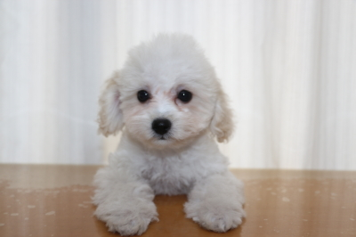 タイニープードルホワイトの子犬メス、生後2ヵ月半画像