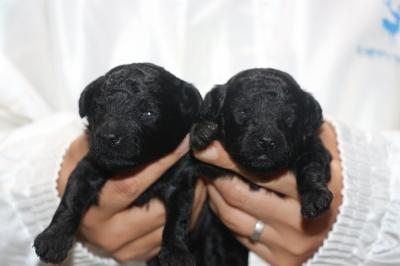 トイプードルブラック(黒色)の子犬オスメス、生後2週間画像
