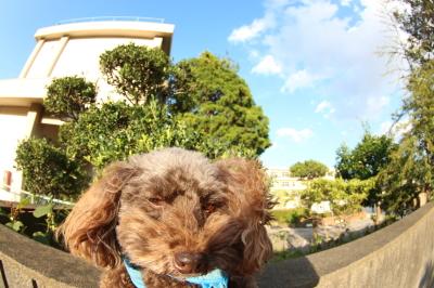 ペットホテル、千葉県船橋市トイプードルの次元&五エ門君画像