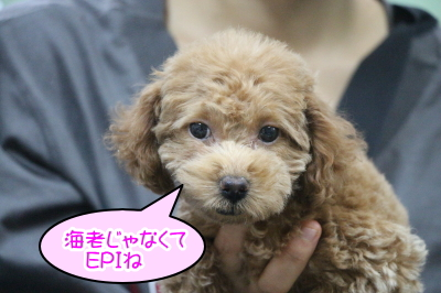 トイプードルレッドの子犬メス、神奈川県横浜市エピちゃん画像