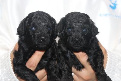 トイプードルブラック(黒色)の子犬オスメス、生後3週間画像
