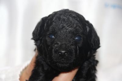 トイプードルブラック(黒色)の子犬オス、生後3週間画像