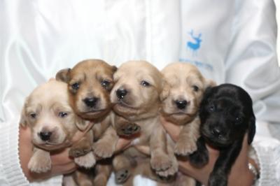ミニチュアダックスの子犬オス2頭メス3頭、生後2週間画像