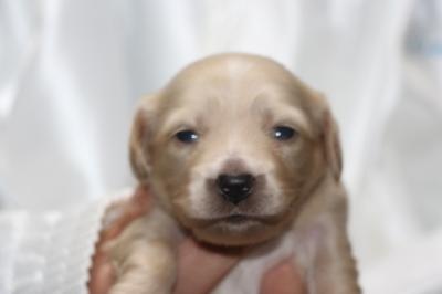 ミニチュアダックスクリーム(イエロー)の子犬オス、生後2週間画像