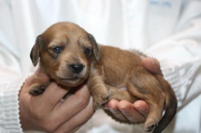 ミニチュアダックスレッドの子犬オス、生後2週間画像