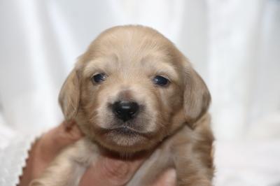 ミニチュアダックスクリーム(イエロー)の子犬メス、生後2週間画像