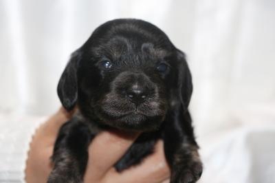 ミニチュアダックスブラッククリームの子犬メス、生後2週間画像