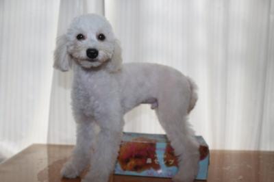 トイプードルホワイト(白色)の子犬オス、生後5ヵ月画像