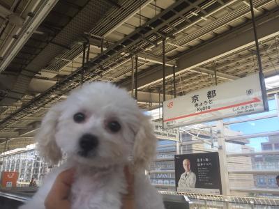 タイニープードルホワイト(白色)の子犬メス、奈良県奈良市リンちゃん画像