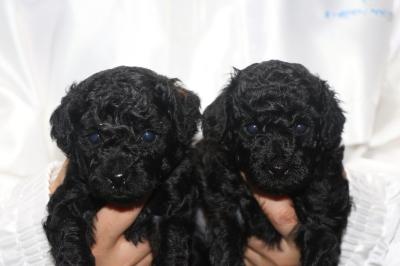 トイプードルブラック(黒色)の子犬オスメス、生後4週間画像