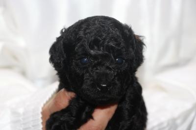 トイプードルブラック(黒色)の子犬オス、生後4週間画像