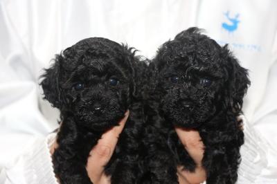 トイプードルブラック(黒色)の子犬オスメス、生後5週間画像