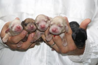 ミニチュアダックスの子犬、クリームオス2頭メス2頭ブラッククリームメス1頭、生後2日画像