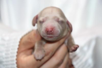 ミニチュアダックスクリーム(イエロー)の子犬メス、生後2日画像