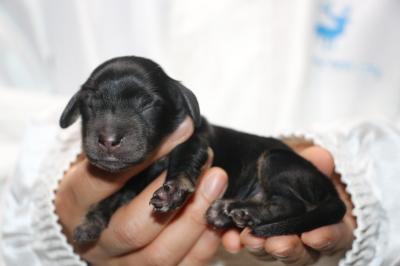 ミニチュアダックスブラッククリーム(イエロー)の子犬メス、生後2日画像
