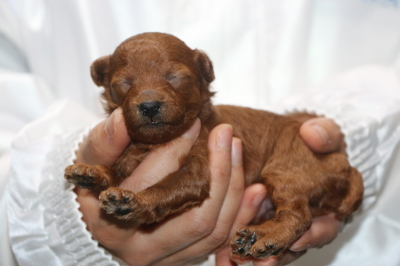トイプードルレッドの子犬メス、生後2週間画像