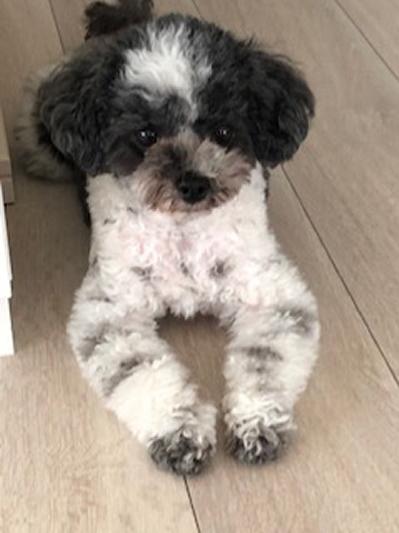ティーカッププードル白黒パーティ成犬画像
