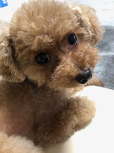 ティーカッププードルレッド成犬画像