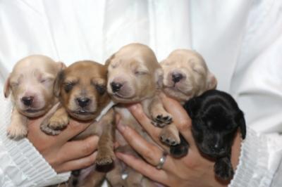 ミニチュアダックスの子犬オス2頭メス3頭、クリーム、レッド、ブラッククリーム生後1週間画像