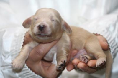 ミニチュアダックスクリーム(イエロー)の子犬オス、生後1週間画像