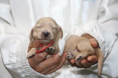 ミニチュアダックスクリーム(イエロー)の子犬メス、生後1週間画像