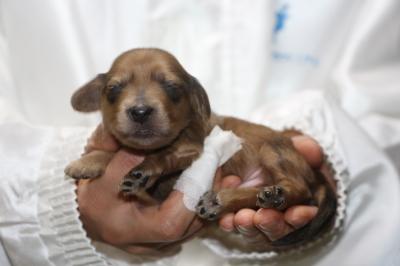 ミニチュアダックスレッドの子犬オス、生後1週間画像