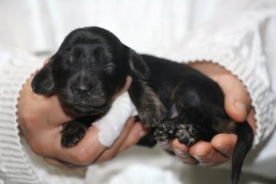 ミニチュアダックスブラッククリームの子犬メス、生後1週間画像