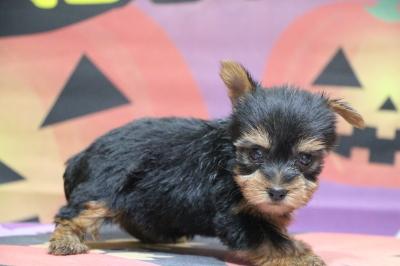 ヨークシャテリアの子犬メス、生後7週間画像