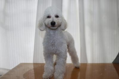 トイプードルホワイト(白色)の子犬オス、生後半年画像