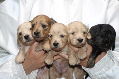 ミニチュアダックスの子犬オス2頭メス3頭、生後3週間画像